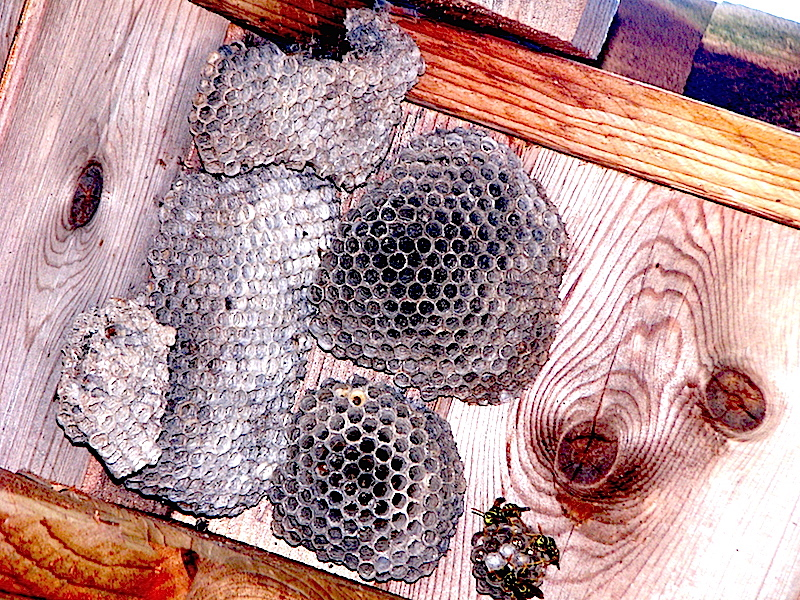 1Paper Wasp Nests