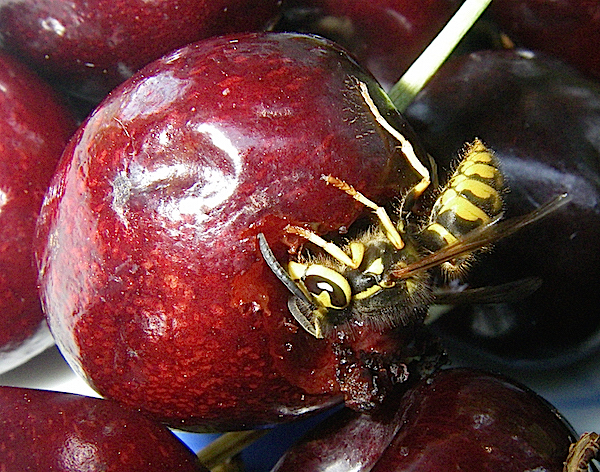 Fig.2 Wasp on Cherry