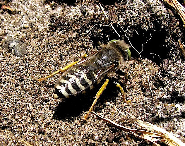 Fig.7 (Ch. Gronau) Closely related to the Sphecidae, here is another Wasp fond of digging : Bembix americana, appropriately referred to as the Sand Wasp (family Crabronidae).