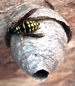 Fig.4 a young queen of Dolichovespula arenaria, the Sandhills Hornet, working on her early-summer start-up nest. (Photograph taken elsewhere.)