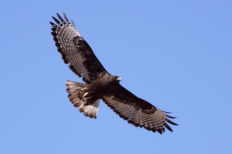 1-Harlan's Red-tailed Hawk