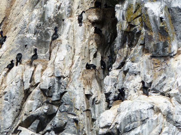 3-p1030210-cormorants