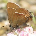 Johnson's Hairstreak