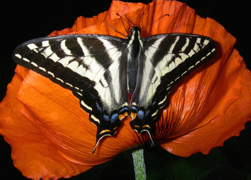 Pale Swallowtail, with the orange colour of the crescent in question very prominent, South east end of Gorge Harbour, 2011