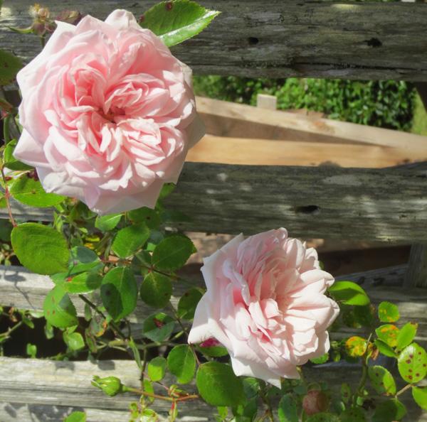 Awakening Rose in the Museum's Heritage Garden