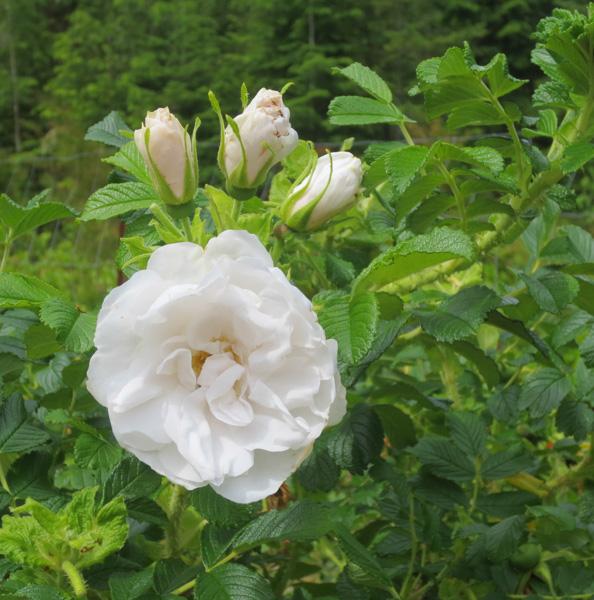 Blanc Double de Coubert Rose in the Museum's Heritage Garden