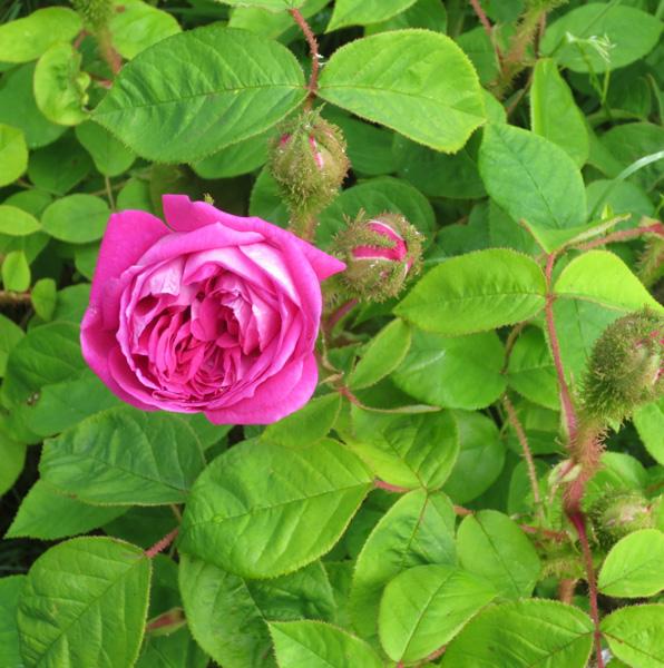 Moss Rose in the Museum's Heritage Garden