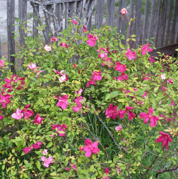 Mutabilis Rose in the Museum's Heritage Garden